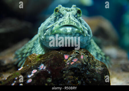 Head on view of froglike Cabezon scaleless fish resting on rock with anemones of the North American Pacific ocean coast in a kelp forest - Stock Image