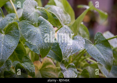 Water droplets cling to the green upright leaves of a Philodendron Xanadu indoor house plant that has been put out in the rain - Stock Image