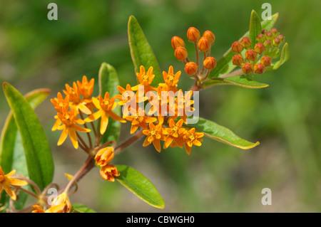 Butterfly Weed, Pleurisy Root, Butterfly Milkweed (Asclepias tuberosa), flowering. - Stock Image