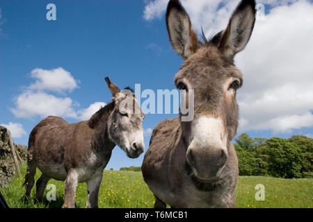 pair of donkeys in field (Moniaive, Dumfries & Galloway, Scotland) - Stock Image