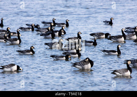 Barnacle geese, pond in Leghorn, in Leybucht near Greetsiel, nature reserve municipality Krummhšrn, East Frisia, Lower Saxony, Germany, - Stock Image