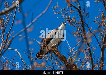 Osprey (Pandion haliaetus) - Stock Image