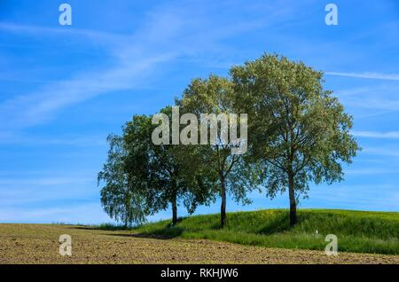 Group of three birch trees in a rural landscape environment. - Stock Image