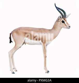 isolated Antelope on white background - Stock Image