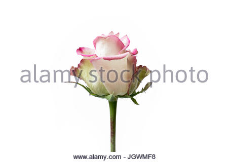 White and Pink flower clean background - Stock Image