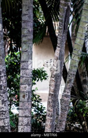 Indian palm squirrel, or Three-striped palm squirrel, Funambulus palmarum, peeking from behind bamboo, New Delhi, Delhi, India - Stock Image