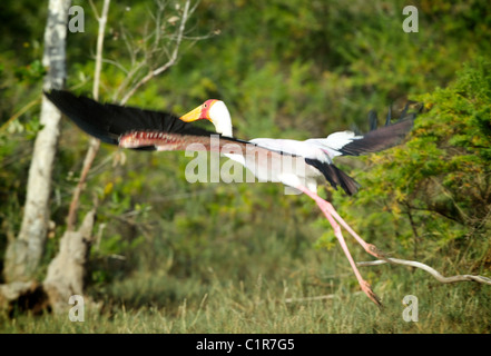 Yellow-billed Stork , Mycteria ibis Saadani Tanzania - Stock Image