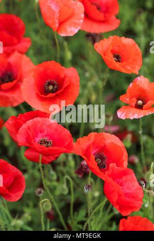 Poppy flower field - Stock Image
