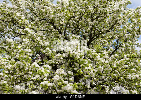 White blooming apple tree, Malus flowering in spring season in Poland, Europe, plenty flowers and buds, lush blossoms. - Stock Image