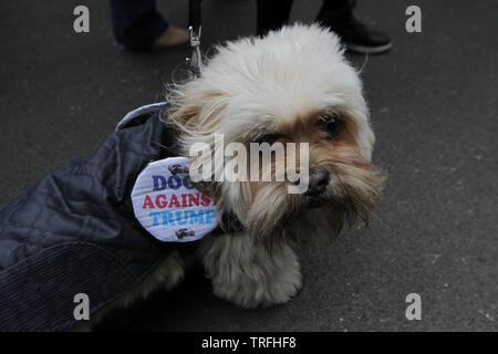 A dog wears a ÒDogs against TrumpÓ badge During a protest which coincides with Donald TrumpÕs state visit to the United Kingdom on 04/06/2019 - Stock Image