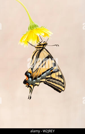 A Western Tiger Swallowtail (Papilio rutulus) hanging from a yellow flower - side view - on a plain beige  background - Stock Image