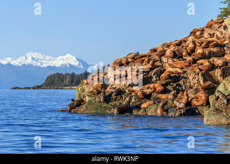 Steller sea lion (Eumetopias jubatus) hauled out on rocky shore in Lynn Canal, Inside Passage, Southeast Alaska; Alaska, United States of America - Stock Image