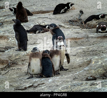 African penguin and three chicks (Spheniscus demersus), also known as the jackass penguin and black-footed penguin of Boulders Beach, Western Cape nea - Stock Image