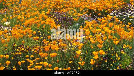 Poppies Sierra Nevada Venezuela - Stock Image