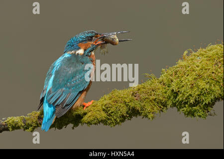 Common kingfisher (Alcedo atthis) adult male with fish prey. Worcestershire, England. May. - Stock Image