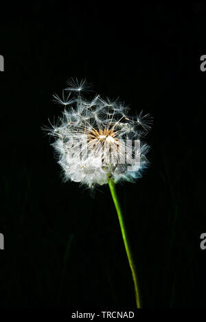 A very detailed close up of a white circular dandelion seed head, also know as a dandelion clock with a green stem and a black background, two fo the - Stock Image