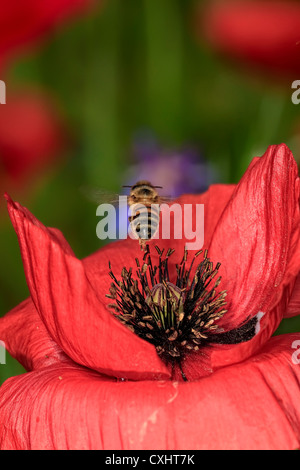 Icelandic Poppy Flower Buds - just starting to open - Stock Image