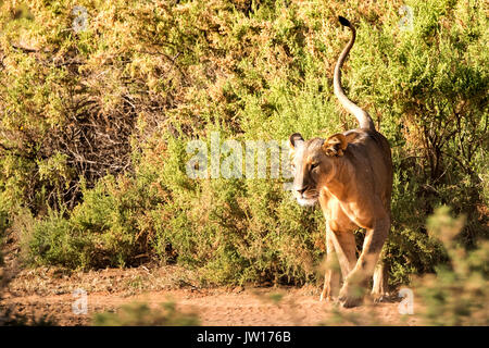 Lioness (Panthera leo) walking around, waiting for the right moment to hunt - Stock Image