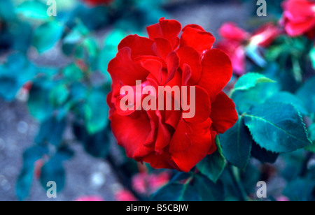 beautiful botanical close flora flower fragrance garden green leafs macro plant pretty red rose smell up vegetation - Stock Image