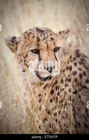 Leopard, Africa - Stock Image