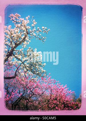 White magnolia tree and pink Hana Peach tree against blue sky, with painterly texture overlay and vintage pink gradation - Stock Image