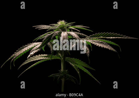 Flowering female cannabis sativa plant - Stock Image