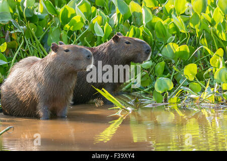 A pair of wild adult Capybaras, Hydrochaeris hydrochaeris, on the bank of a river in the Pantanal, Brazil - Stock Image