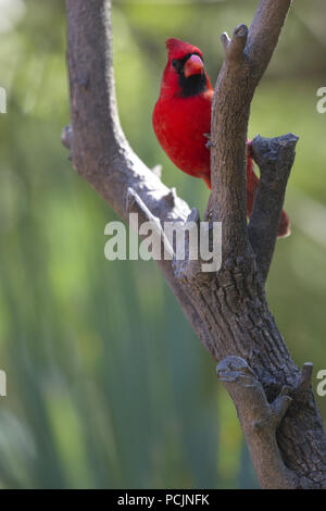 Male Northern Cardinal in fork of tree branch at Sabal Pines Sanctuary near Brownsville, Texas. - Stock Image
