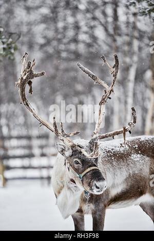 Reindeer - Stock Image