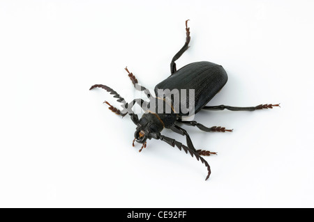 The Tanner, The Sawyer (Prionus coriarius). Beetle, studio picture against a white background. - Stock Image
