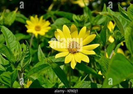 Helianthus 'Lemon Queen' in close up - Stock Image