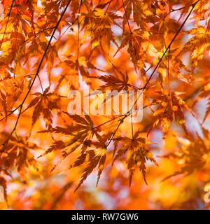 Orange Japanese Maple Tree Leaves - Stock Image