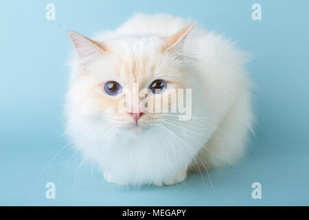 birman male cat lying on blue background looking at camera - Stock Image