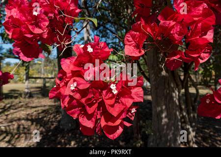 Red bougainvillea in the gardens of the Hilton Lagoon Resort and Spa, Papetoai, Moorea, Tahiti, French Polynesia - Stock Image