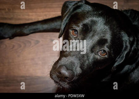 Black dog Labrador Retriever lying on the floor - Stock Image
