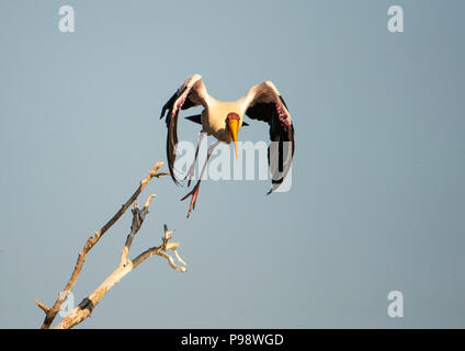 Yellow-billed stork (Mycteria ibis), taking off from a tree branch. - Stock Image