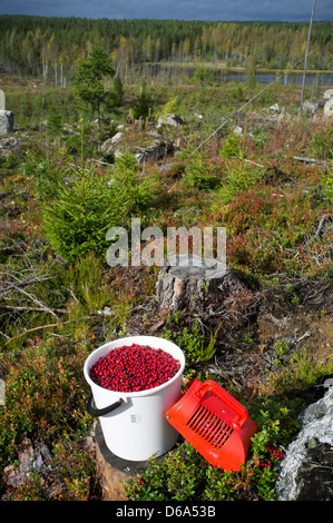 Bucket full of fresh ripe lingonberries ( Vaccinium vitis-idaea ) , Finland - Stock Image