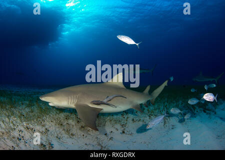 Lemon Shark (Negaprion brevirostris) with Some Caribbean Reef Sharks in the Background. Tiger Beach, Bahamas - Stock Image