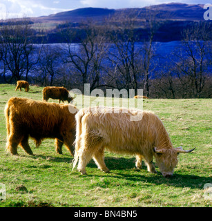 Long haired Highland cattle Loch Awe Scotland - Stock Image