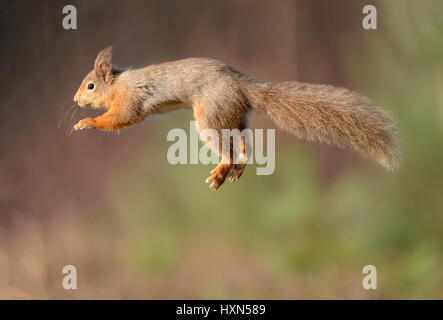 Red squireel (Sciurus vulgaris) leaping. Cairngorms National Park, Scotland. February. - Stock Image