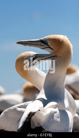 Close up of a pair of Australasian Gannets (Morus serrator) at Cape Kidnappers colony New Zealand - Stock Image