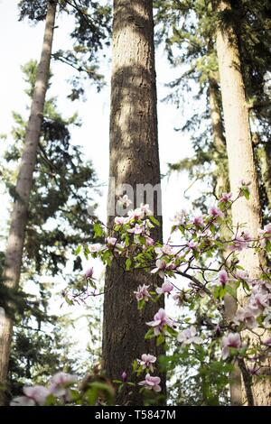 Pink magnolia blossoms against tall trees in Hendricks park in Eugene, Oregon, USA. - Stock Image