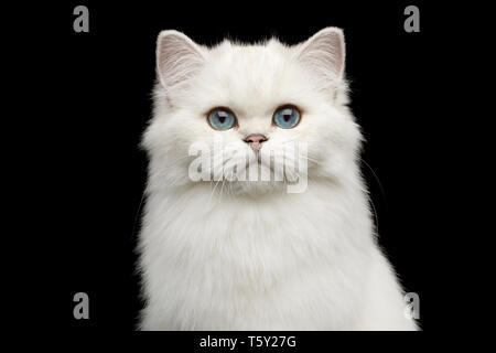 Portrait of British White Cat with blue eyes gazing on Isolated Black Background, front view - Stock Image
