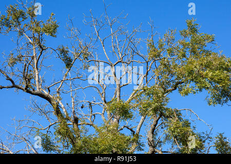 An ash tree showing signs of ash die back - Stock Image