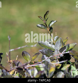 Beautiful bright green leafy plant photographed during a sunny spring day in Nyon, Switzerland. In this photo you can see tree branches & leaves. - Stock Image