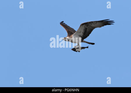 Osprey (Pandion haliaetus), flies with prey, with fish in catch, Nature Park Peenetal, Mecklenburg-Western Pomerania, Germany - Stock Image
