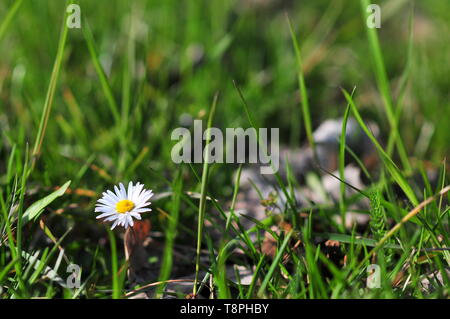 Daisy on meadow (Bellis perennis)  European species of daisy. - Stock Image