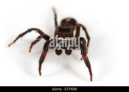 Male Pellenes tripunctatus spider, part of the family Salticidae - Jumping spiders. Isolated on white background. - Stock Image
