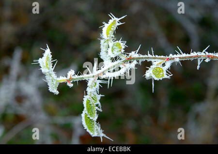 Frosted rosehip branch. - Stock Image