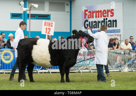 Belted Galloway breed champion in-calf heifer 'Clifton Absolutely Fabulous' at the Royal Highland Show 2018, Edinburgh, Scotland, UK - Stock Image